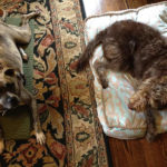 dogs resting on mats